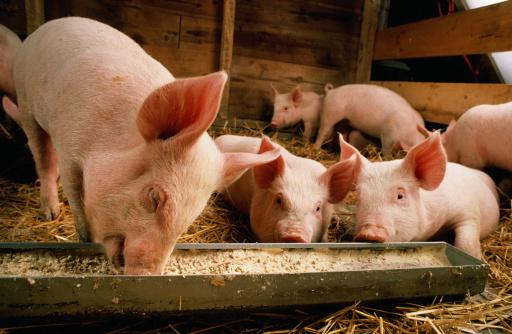 Medium Group Of Animals「Piglets (Sus sp.) feeding at trough」:スマホ壁紙(2)