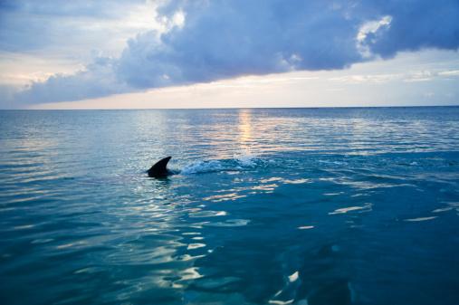 Central America「Common Bottlenose Dolphin (Tursiops truncatus) fin cutting through sea, Honduras」:スマホ壁紙(11)
