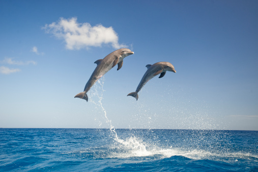 Mammal「Common Bottlenose Dolphins (Tursiops truncatus) leaping out of water together, Honduras」:スマホ壁紙(12)