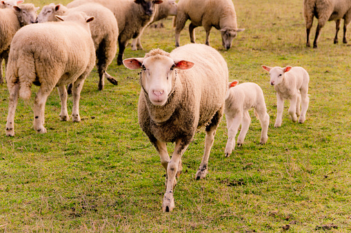 Walking「Flock of sheep with lambs on a pasture」:スマホ壁紙(12)