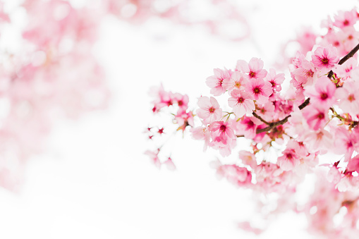 ピンク色「ピンクの桜」:スマホ壁紙(0)
