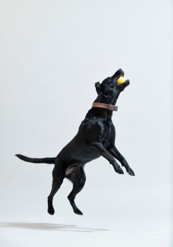 Catching「A Black Dog Leaps To Catch A Ball In It's Mouth」:スマホ壁紙(10)