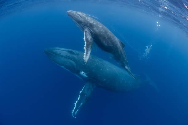 Mother and Calf Humpback Whales:スマホ壁紙(壁紙.com)