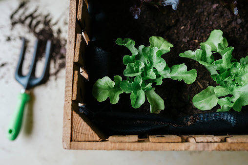 Planting「Planting lettuce in a wooden box」:スマホ壁紙(19)