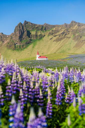 ヴィック「Blue Alaskan lupins and church near Vik, Iceland」:スマホ壁紙(3)