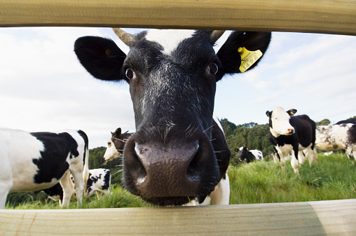 Mammal「Dairy cow looking through wooden fence (wide angle)」:スマホ壁紙(7)