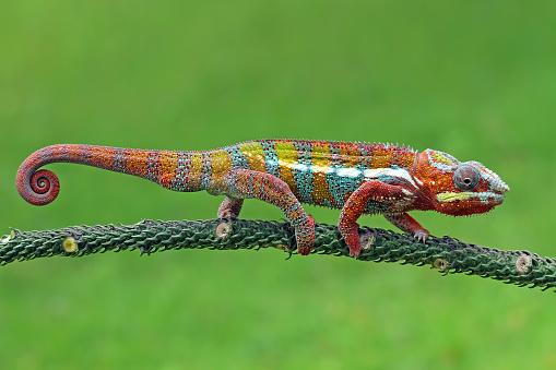 Walking「Chameleon walking on branch, Indonesia」:スマホ壁紙(12)