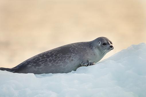 Pack Ice「Ringed Seal Pup, Nunavut, Canada」:スマホ壁紙(4)