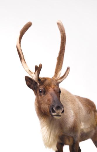 reindeer「Reindeer looking into camera」:スマホ壁紙(13)