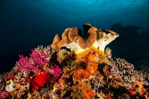 Soft Coral「Colorful Soft Coral Biodiversity, Komodo National Park, Indonesia」:スマホ壁紙(0)
