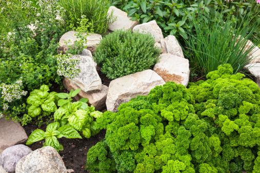 Mint Leaf - Culinary「Fresh Herbs in the garden」:スマホ壁紙(18)