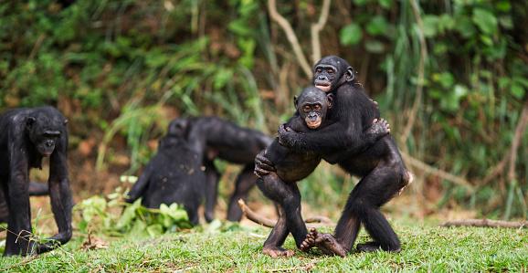 Females「Bonobos embracing」:スマホ壁紙(11)