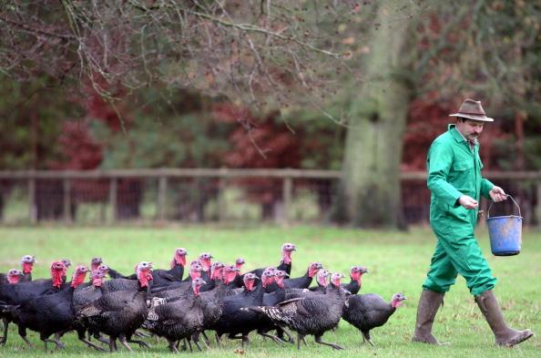 Turkey - Bird「Demand Increases For Organic Turkey During Festive Season」:写真・画像(6)[壁紙.com]