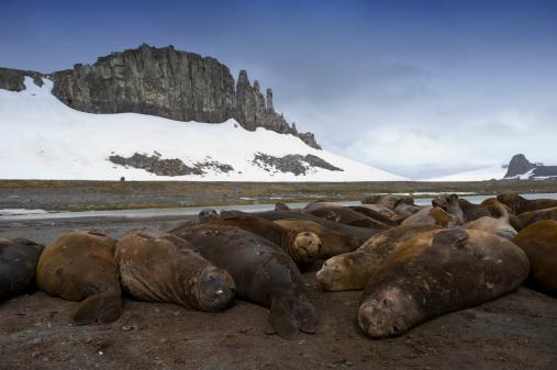Aitcho Island「southern elephant seal on the beach of aitcho」:スマホ壁紙(1)