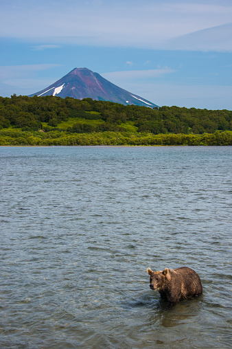 Kamchatka Brown Bear「Russia, Kamchatka, Kurile lake, Kamchatka brown bear, Ursus arctos beringianus, Ilyinsky volcano in the background」:スマホ壁紙(18)
