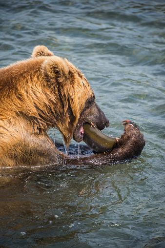 Kamchatka Brown Bear「Russia, Kamchatka, Kurile lake, Kamchatka brown bear, Ursus arctos beringianus, eating salom」:スマホ壁紙(14)