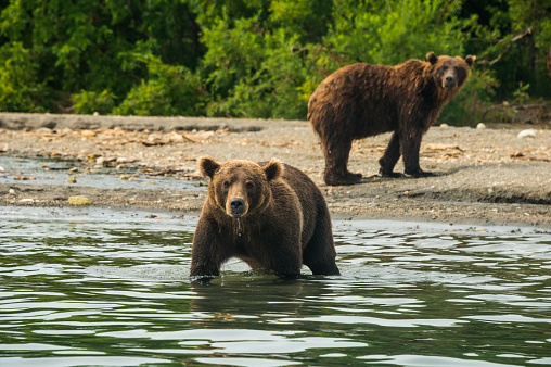 Kamchatka Brown Bear「Russia, Kamchatka, Kurile lake, Kamchatka brown bears (Ursus arctos beringianus」:スマホ壁紙(16)