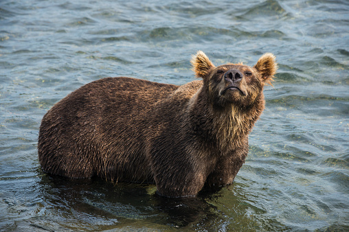 Kamchatka Brown Bear「Russia, Kamchatka, Kurile lake, Kamchatka brown bears (Ursus arctos beringianus」:スマホ壁紙(17)