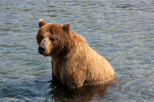 Kamchatka Brown Bear「Russia, Kamchatka, Kurile lake, Kamchatka brown bears (Ursus arctos beringianus」:スマホ壁紙(15)