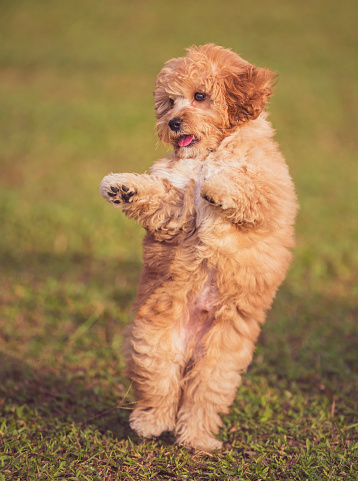 Pleading「a toy poodle puppy dancing on the grass at public park with 2 feet」:スマホ壁紙(14)