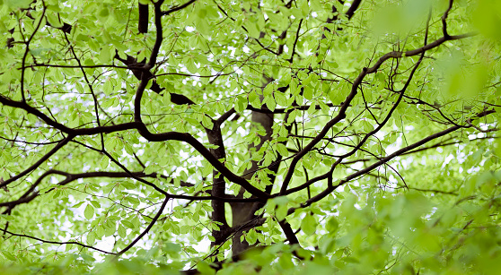 North Brabant「Beech tree with fresh leaves in spring」:スマホ壁紙(15)