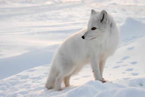 Snowdrift「Polar fox.」:スマホ壁紙(5)