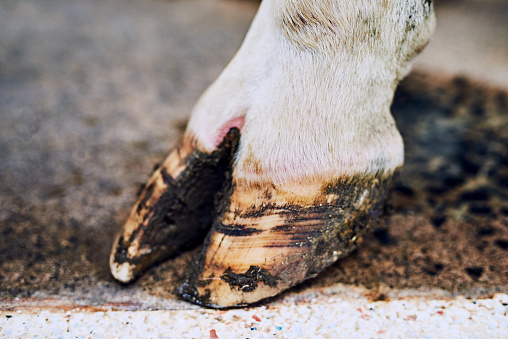 Cow「Healthy hooves are the sign of a healthy cow」:スマホ壁紙(12)
