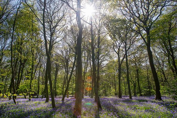 Forest「Bluebells In Full Bloom In Epping Forest」:写真・画像(14)[壁紙.com]