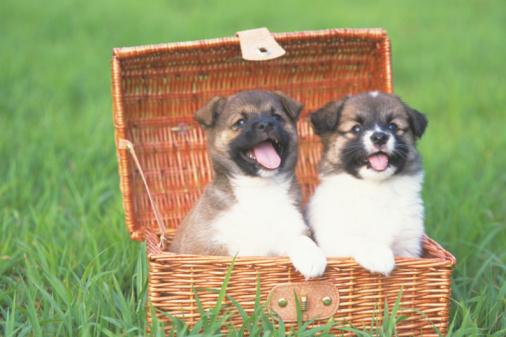 Puppy「Puppies」:スマホ壁紙(8)