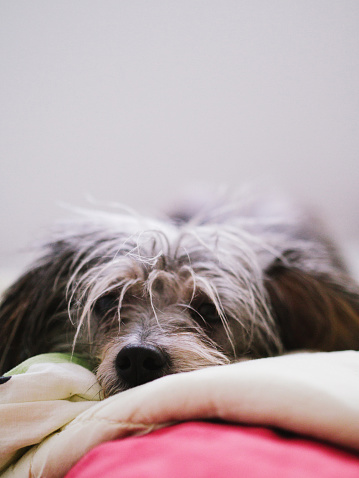 Duvet「Small dog laying in bed」:スマホ壁紙(13)