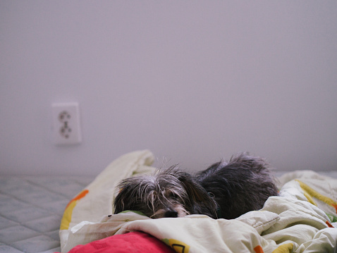 Duvet「Small dog laying in bed」:スマホ壁紙(14)