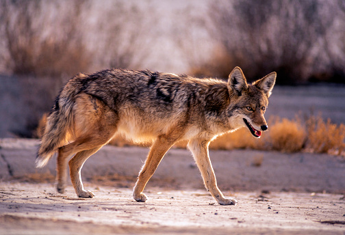 Walking「Wild Coyote in roaming in Badwater - Death Valley National Park, USA」:スマホ壁紙(8)