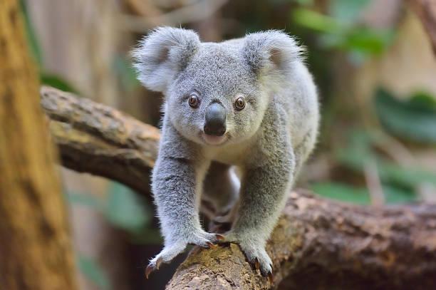 Koala, Phascolarctos cinereus:スマホ壁紙(壁紙.com)
