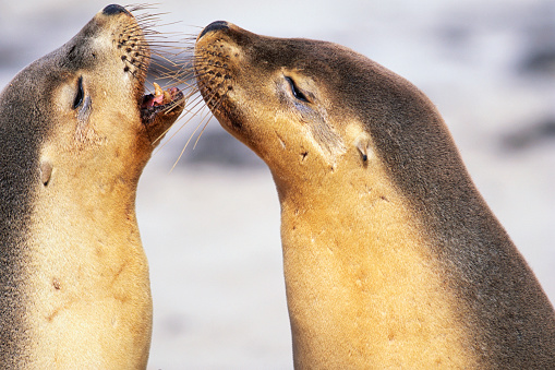 Sea Lion「Sea Lions Touching Whiskers」:スマホ壁紙(15)