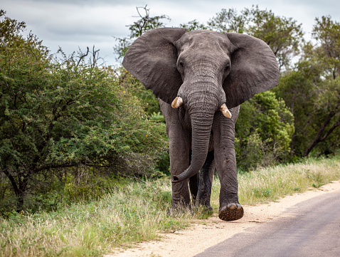 Walking「Large bull African Elephant in musth, flapping its ears while walking along road in Kruger National Park, South Africa.」:スマホ壁紙(1)