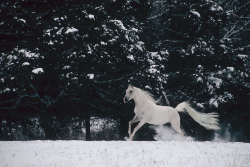 Stallion「Arabian horse」:スマホ壁紙(6)