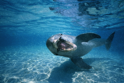 Shallow「Bottle-nosed dolphin (Tursiops truncatus),Honduras,underwater view」:スマホ壁紙(4)
