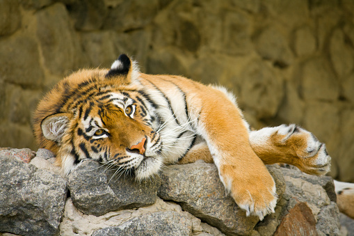 Tiger「Tiger.」:スマホ壁紙(5)
