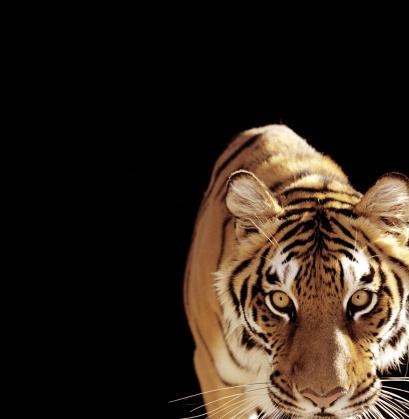 Tiger「Tiger (Panthera tigris)」:スマホ壁紙(15)