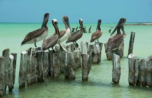 Shallow「Pelicans on old posts, in the shallows, Holbox Is.」:スマホ壁紙(14)