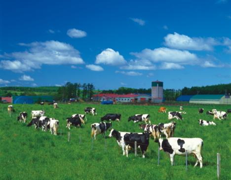 Hokkaido「Cows on a farm, Hokkaido, Japan」:スマホ壁紙(11)