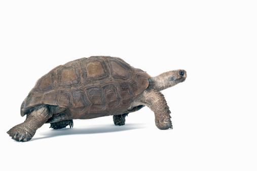 Walking「studio shot of a Burmese Brown Mountain Turtle」:スマホ壁紙(7)