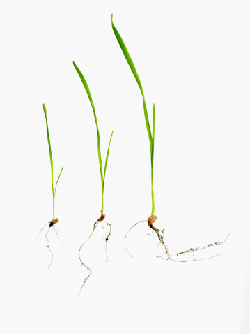 Plant Bulb「Studio shot of blades of grass with bulbs and roots」:スマホ壁紙(16)