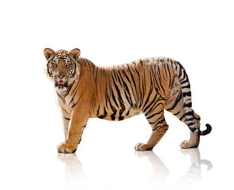 Tiger「Studio Shot Of A Standing On A White Background」:スマホ壁紙(8)