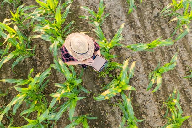 トウモロコシ畑でタブレットを使用して女性農家.トウモロコシ畑のタブレットを使用して麦わら帽子をかぶった女性農家の上からの眺め:スマホ壁紙(壁紙.com)