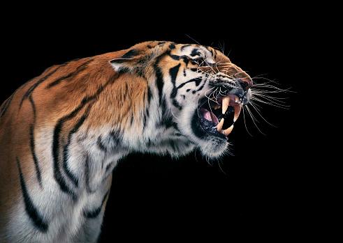 Tiger「Tiger snarling」:スマホ壁紙(15)