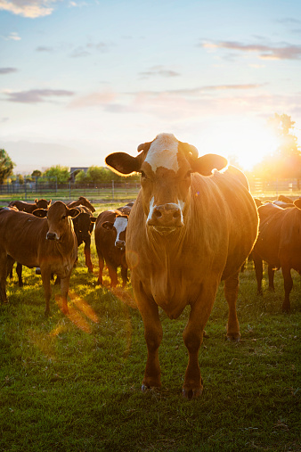 Cow「Hereford Cows in Pasture at Sunset」:スマホ壁紙(0)