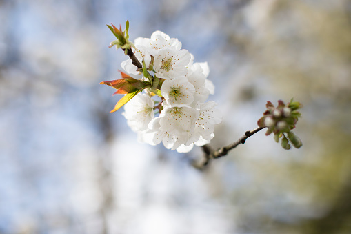 North Brabant「Twig with white cherry blossoms」:スマホ壁紙(15)