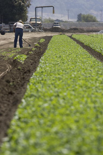 Salad「Spinach Growers Tally Losses As E. Coli Investigation Continues」:写真・画像(4)[壁紙.com]