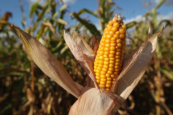 田畑「Corn Harvest Underway In Brandenburg」:写真・画像(1)[壁紙.com]